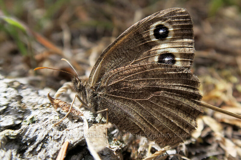common wood-nymph butterfly (Cercyonis pegala) [Long Creek Mountain, Malheur National Forest, Oregon]