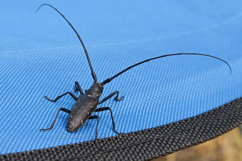 white-spotted sawyer beetle (Monochamus scutellatus) [Long Creek Mountain, Malheur National Forest, Oregon]