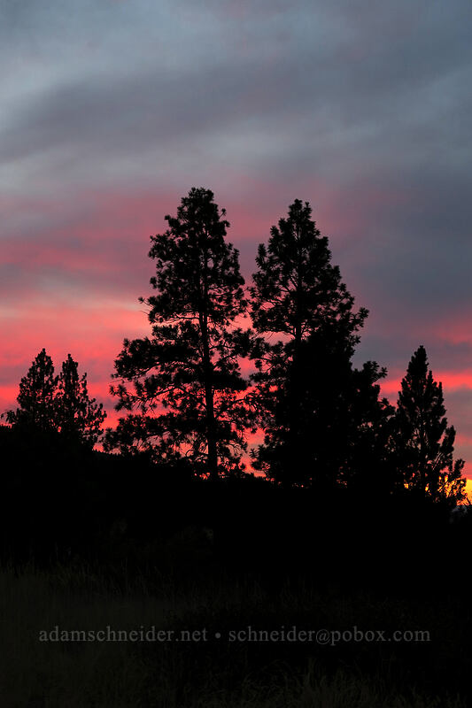 sunset & pine trees [Long Creek Mountain, Malheur National Forest, Oregon]