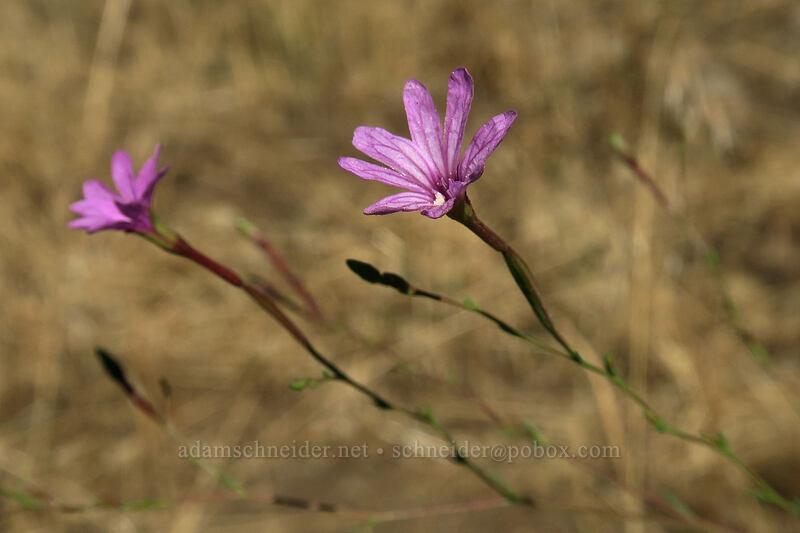 autumn willow-herb (tall annual willow-herb) (Epilobium brachycarpum) [Long Creek Mountain, Malheur National Forest, Oregon]