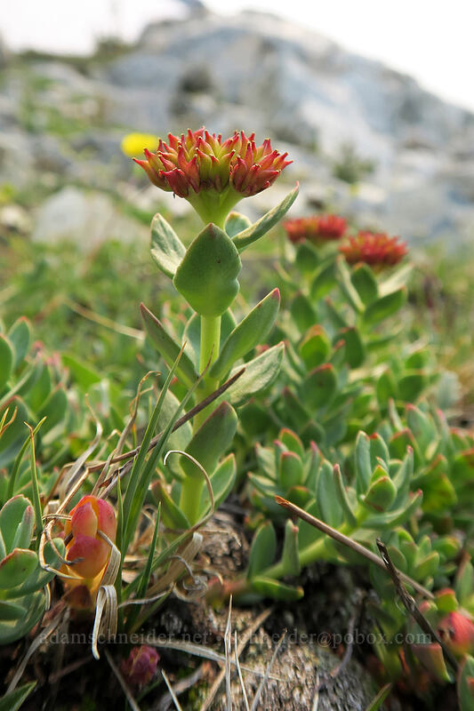 western roseroot (ledge stonecrop) (Rhodiola integrifolia) [Gaylor Peak, Yosemite National Park, California]