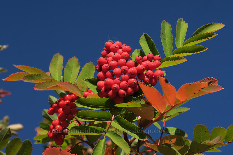 Sitka mountain ash berries (Sorbus sitchensis) [Boundary Trail, Mt. St. Helens National Volcanic Monument, Washington]