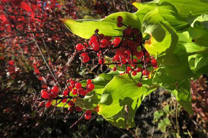 false Solomon's-seal berries (Maianthemum racemosum ssp. amplexicaule (Smilacina racemosa)) [Boundary Trail, Mt. St. Helens National Volcanic Monument, Washington]