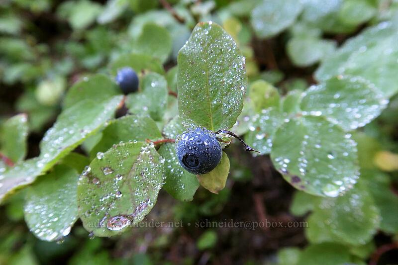 dew on huckleberries (Vaccinium ovalifolium) [Boundary Trail, Mt. St. Helens National Volcanic Monument, Washington]
