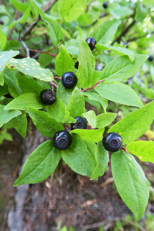black huckleberries (Vaccinium membranaceum) [Lakes Trail, Mt. St. Helens National Volcanic Monument, Washington]
