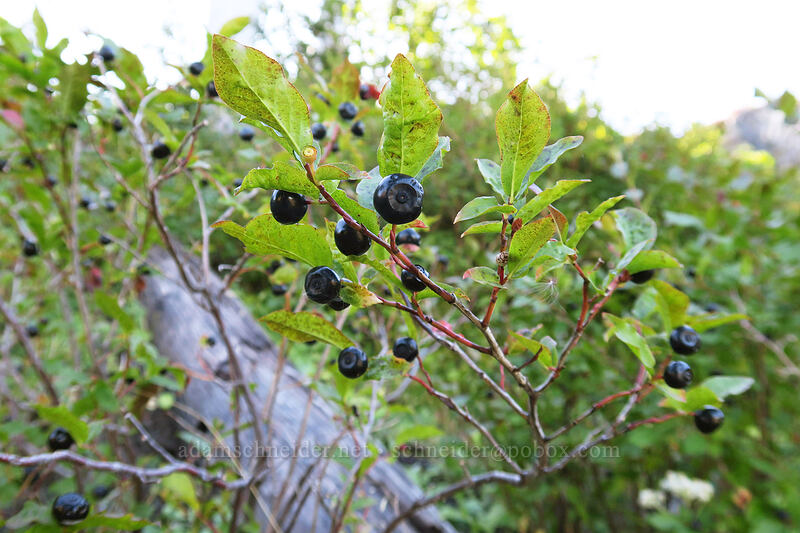black huckleberries (Vaccinium membranaceum) [Boundary Trail, Mt. St. Helens National Volcanic Monument, Washington]