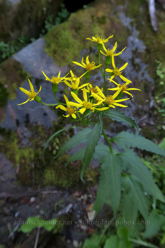 arrow-leaf groundsel (Senecio triangularis) [Lakes Trail, Mt. St. Helens National Volcanic Monument, Washington]