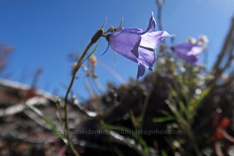 harebells (Campanula rotundifolia) [Lakes Trail, Mt. St. Helens National Volcanic Monument, Washington]