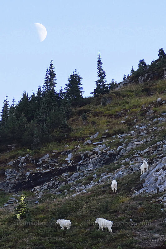 mountain goats (Oreamnos americanus) [Whittier Trail, Mt. St. Helens National Volcanic Monument, Washington]