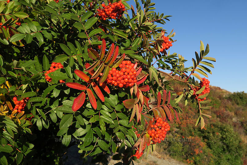 Rocky Mountain ash (Sorbus scopulina) [Boundary Trail, Mt. St. Helens National Volcanic Monument, Washington]