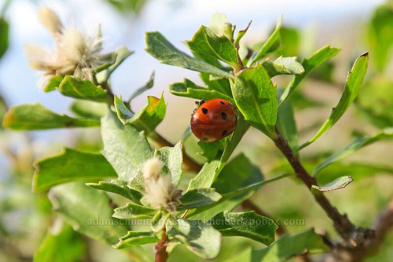 ladybug on coyote brush (Coccinella septempunctata, Baccharis pilularis) [St. Perpetua Trail, Siuslaw National Forest, Oregon]