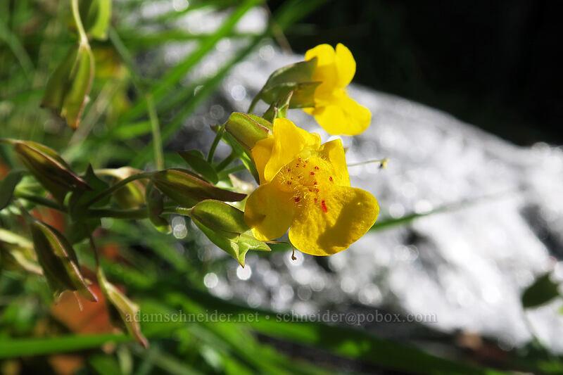 monkeyflower (Erythranthe guttata (Mimulus guttatus)) [Eightmile Creek Falls, Columbia Hills State Park, Washington]