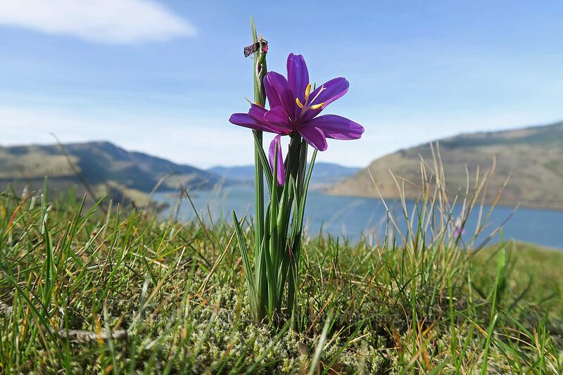 grass widows (Olsynium douglasii) [Mosier Plateau Trail, Mosier, Oregon]