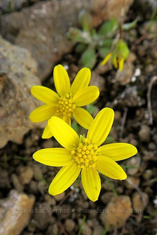gold stars (Crocidium multicaule) [Mosier Plateau Trail, Mosier, Oregon]