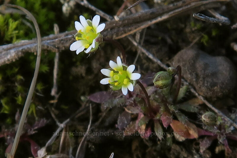 spring whitlow-grass (Draba verna) [Mosier Plateau Trail, Mosier, Oregon]