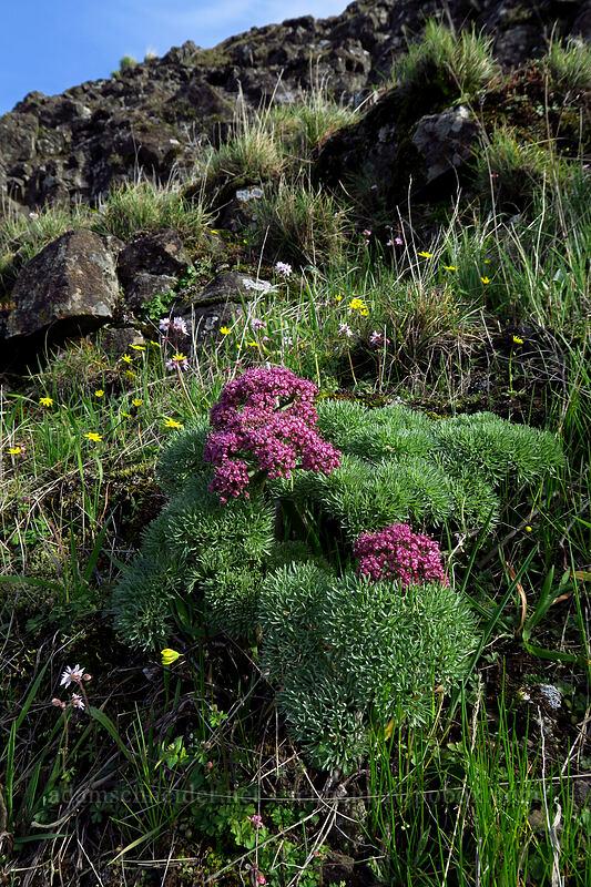Columbia desert parsley (Lomatium columbianum) [Mosier Plateau Trail, Mosier, Oregon]