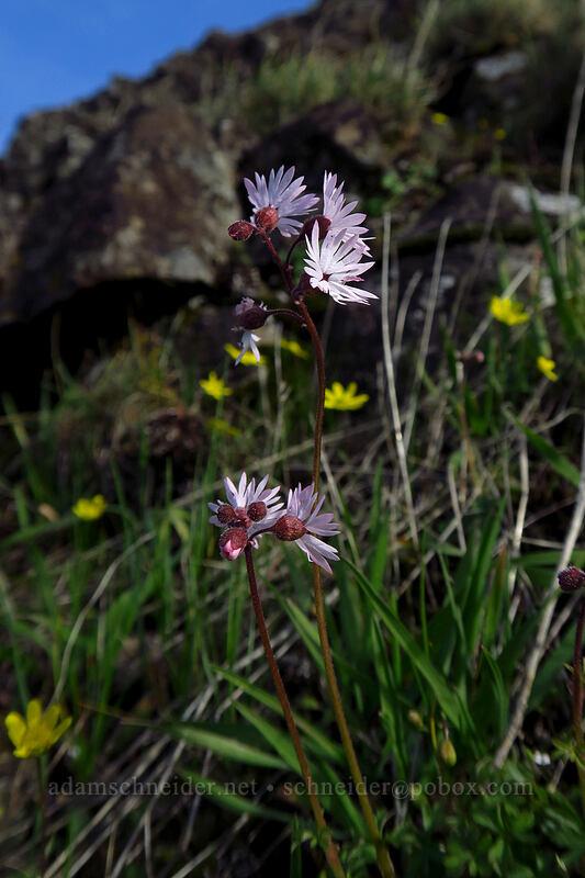 smooth prairie stars (Lithophragma glabrum) [Mosier Plateau Trail, Mosier, Oregon]