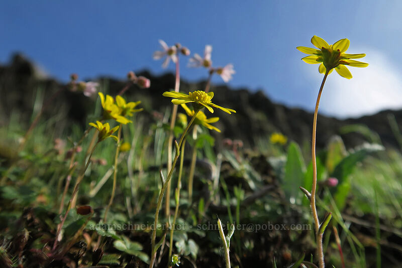 gold stars (Crocidium multicaule) [Mosier Plateau Trail, Mosier, Oregon]