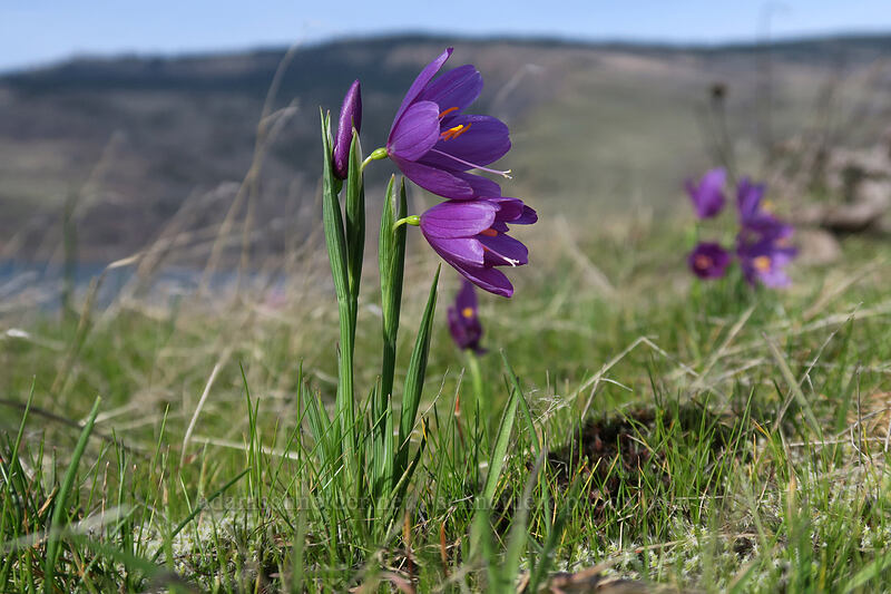 grass widows (Olsynium douglasii) [Mosier Plateau Trail, Mosier, Oregon]