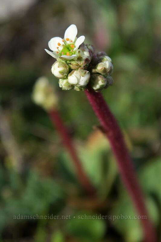 saxifrage (Saxifraga integrifolia) [Mosier Plateau, Mosier, Oregon]