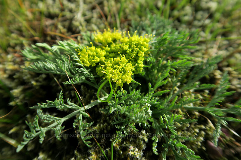 big-seed biscuitroot (large-fruit desert parsley) (Lomatium macrocarpum) [Mosier Plateau, Mosier, Oregon]