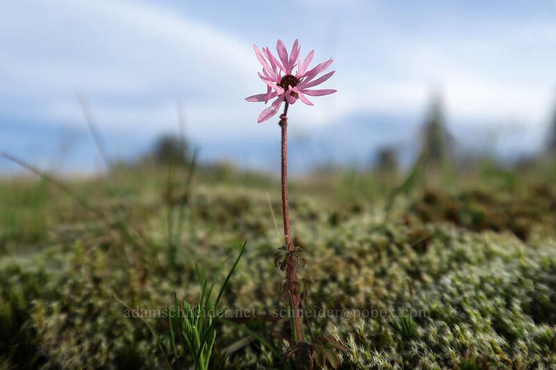smooth prairie star (Lithophragma glabrum) [Mosier Plateau, Mosier, Oregon]