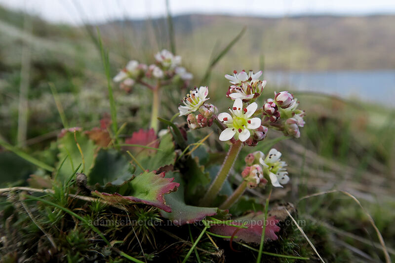 rusty-hair saxifrage (Micranthes rufidula (Saxifraga rufidula)) [Mosier Plateau, Mosier, Oregon]
