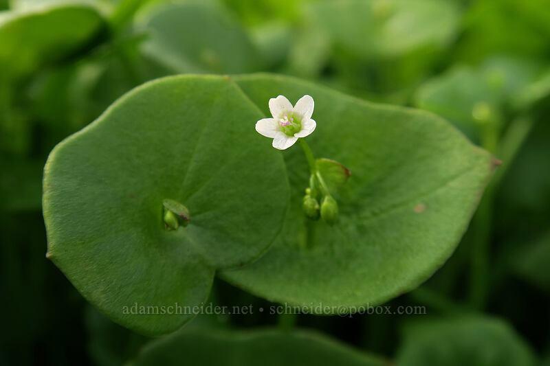 miner's lettuce (Claytonia perfoliata (Montia perfoliata)) [Balfour-Klickitat Trail, Lyle, Washington]