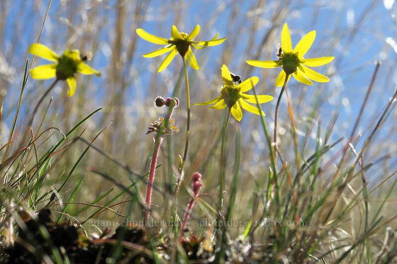 gold stars (Crocidium multicaule) [Old Railbed Trail, Deschutes River State Recreation Area, Oregon]