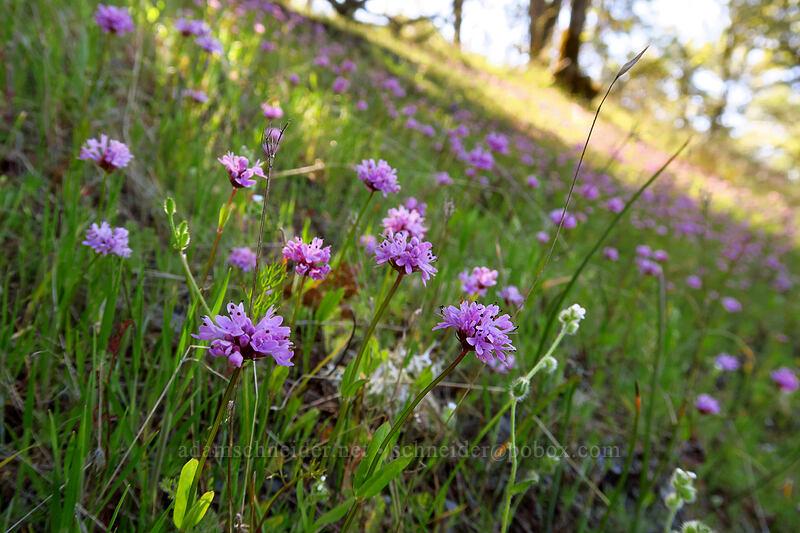 rosy plectritis (Plectritis congesta) [Upper Hogback Trail, Cathedral Hills Park, Josephine County, Oregon]