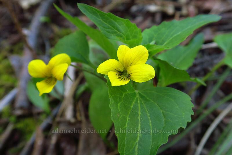 pioneer violet (Viola glabella) [Limpy Botanical Trail, Rogue River-Siskiyou National Forest, Oregon]