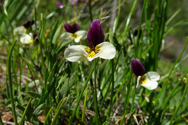 Oregon violets (Viola hallii) [Limpy Botanical Trail, Rogue River-Siskiyou National Forest, Oregon]