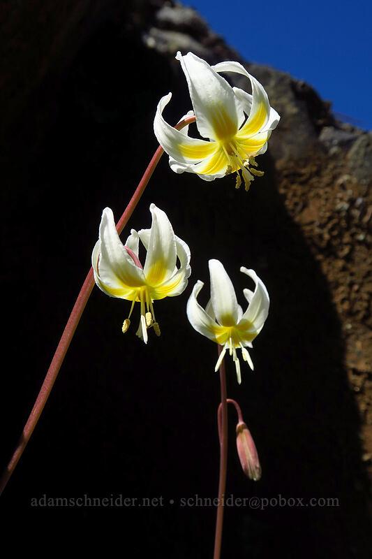 lemon fawn lilies (Erythronium citrinum) [Days Gulch Botanical Area, Rogue River-Siskiyou National Forest, Oregon]