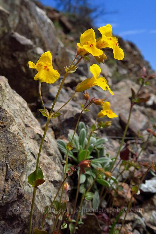 monkeyflower (Erythranthe guttata (Mimulus guttatus)) [Days Gulch Botanical Area, Rogue River-Siskiyou National Forest, Oregon]