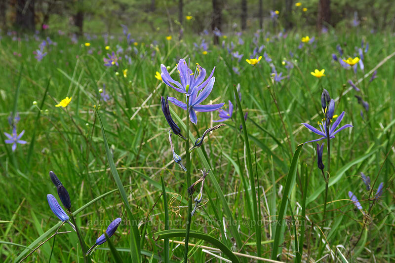 great camas (Camassia leichtlinii) [Eight Dollar Mountain Botanical Wayside, Josephine County, Oregon]