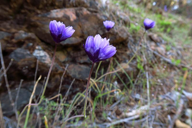 blue dicks (Dichelostemma capitatum (Dipterostemon capitatus)) [Star Flat, Rogue River-Siskiyou National Forest, Oregon]