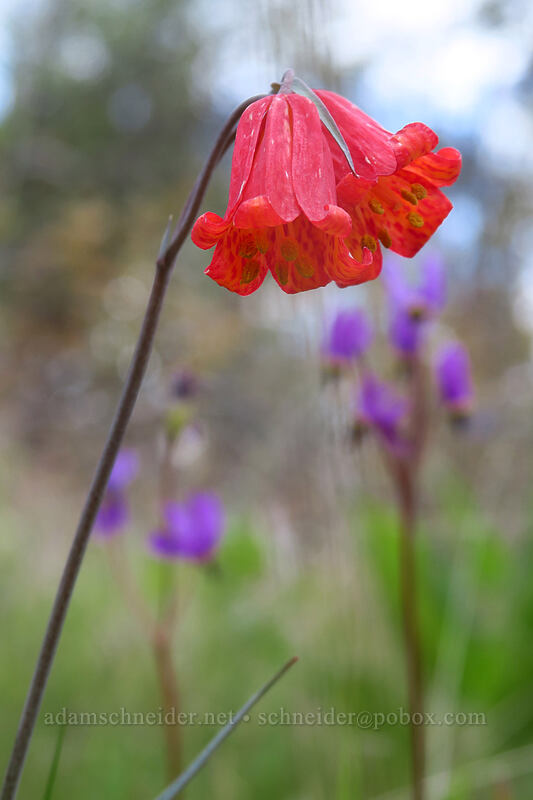 scarlet fritillary (red bells) (Fritillaria recurva) [Panorama Point Trail, Jacksonville Woodlands, Oregon]