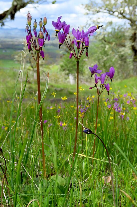Henderson's shooting stars (Dodecatheon hendersonii (Primula hendersonii)) [Lower Table Rock Trail, Jackson County, Oregon]