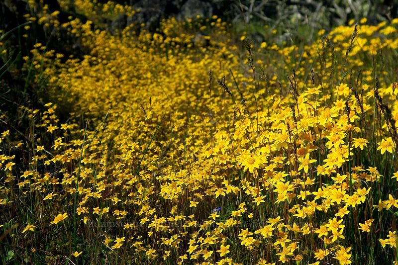 goldfields (Lasthenia californica) [Lower Table Rock, Jackson County, Oregon]