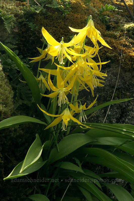 glacier lilies (Erythronium grandiflorum) [above Rowena Dell, Wasco County, Oregon]