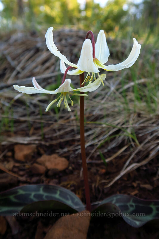 lemon fawn lilies (Erythronium citrinum) [Rough and Ready Preserve, Josephine County, Oregon]
