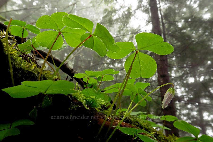 redwood sorrel (Oxalis oregana) [Angora Peak Trail, Clatsop County, Oregon]