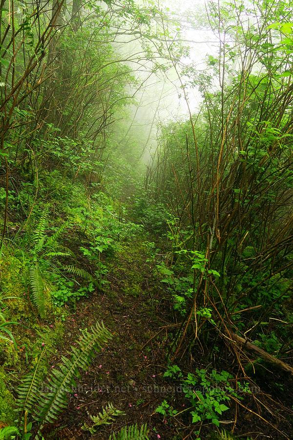 salmonberry jungle (Rubus spectabilis) [Angora Peak Trail, Clatsop County, Oregon]