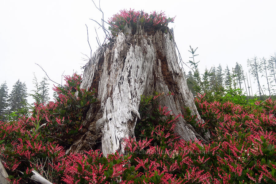 salal-covered stump (Gaultheria shallon) [Angora Peak Trail, Clatsop County, Oregon]