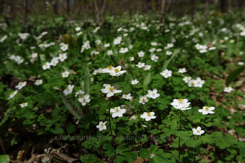 false rue anemone (Enemion biternatum) [Eloise Butler Wildflower Garden, Minneapolis, Minnesota]