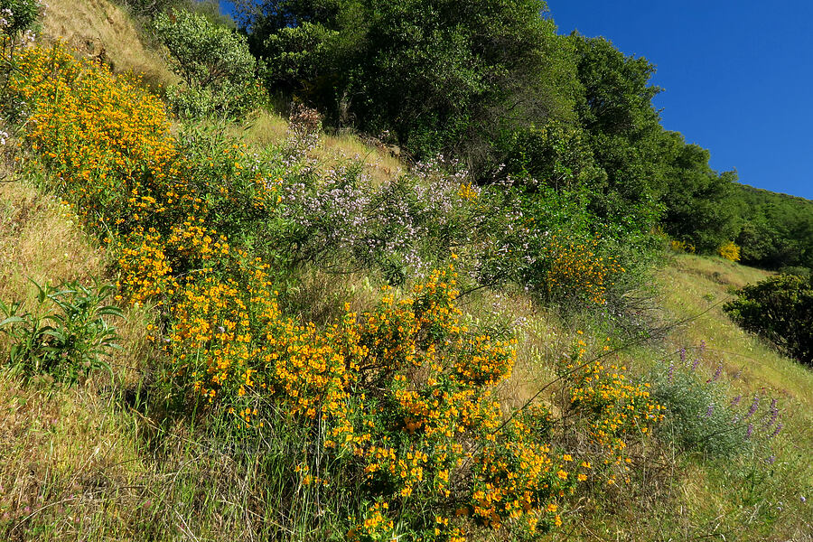 sticky monkeyflower & yerba santa (Diplacus aurantiacus (Mimulus aurantiacus), Eriodictyon californicum (Wigandia californica)) [Rock Creek Road, El Dorado County, California]