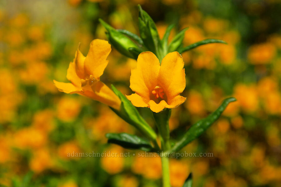 sticky monkeyflower (Diplacus aurantiacus (Mimulus aurantiacus)) [Rock Creek Road, El Dorado County, California]
