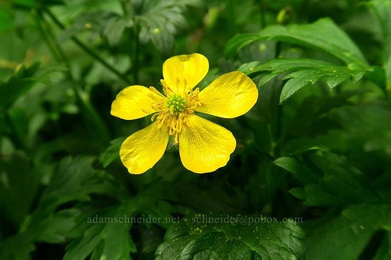 creeping buttercup (Ranunculus repens) [Lacamas Park, Camas, Washington]