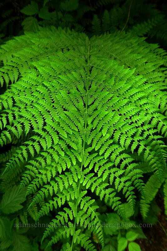 woodfern (Dryopteris sp.) [Lacamas Park, Camas, Washington]