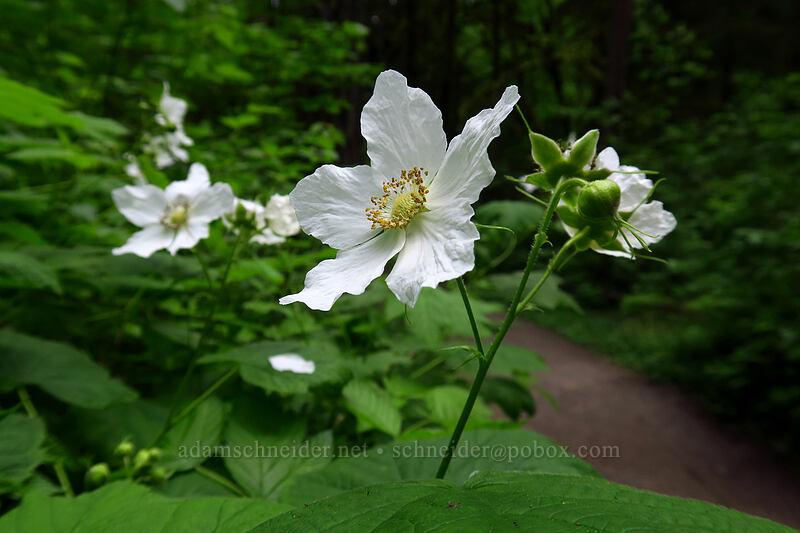 thimbleberry flowers (Rubus parviflorus) [Lacamas Park, Camas, Washington]